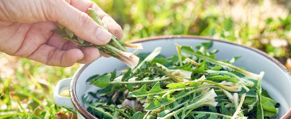 Tarassaco: 3 ricette per tisane dalle mille proprietà