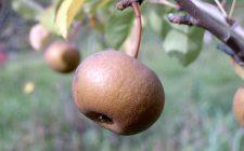 Tradizioni ritrovate: la pera Volpina