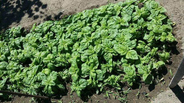 coltivare-basilico-1