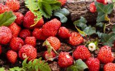 Tra bontà e salute: le fragoline di bosco
