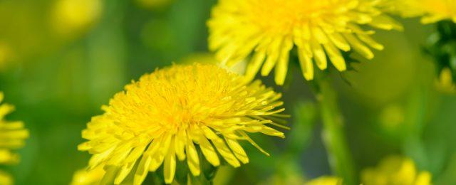 Tarassaco: 13 piatti ideali per la primavera