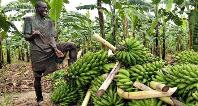 banane-verdi