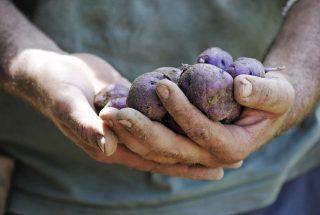 La Cenerentola dei tuberi: riscoprire la patata turchesa