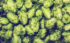 Non solo birra: 8 ricette con il luppolo