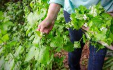 Foraging: 9 erbe spontanee da cucinare