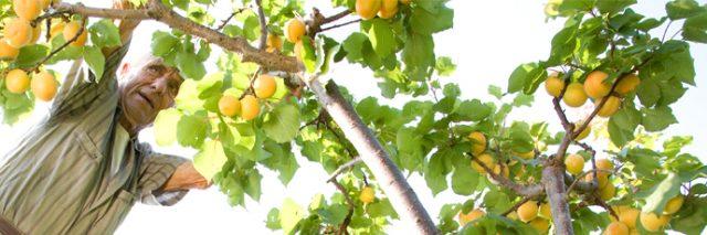 albicocca-di-valleggia