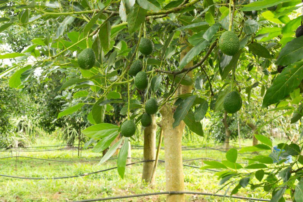 10 curiosità sull'avocado che non avreste mai immaginato - Foto 3