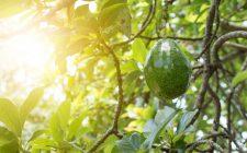 10 curiosità sull'avocado che non avreste mai immaginato