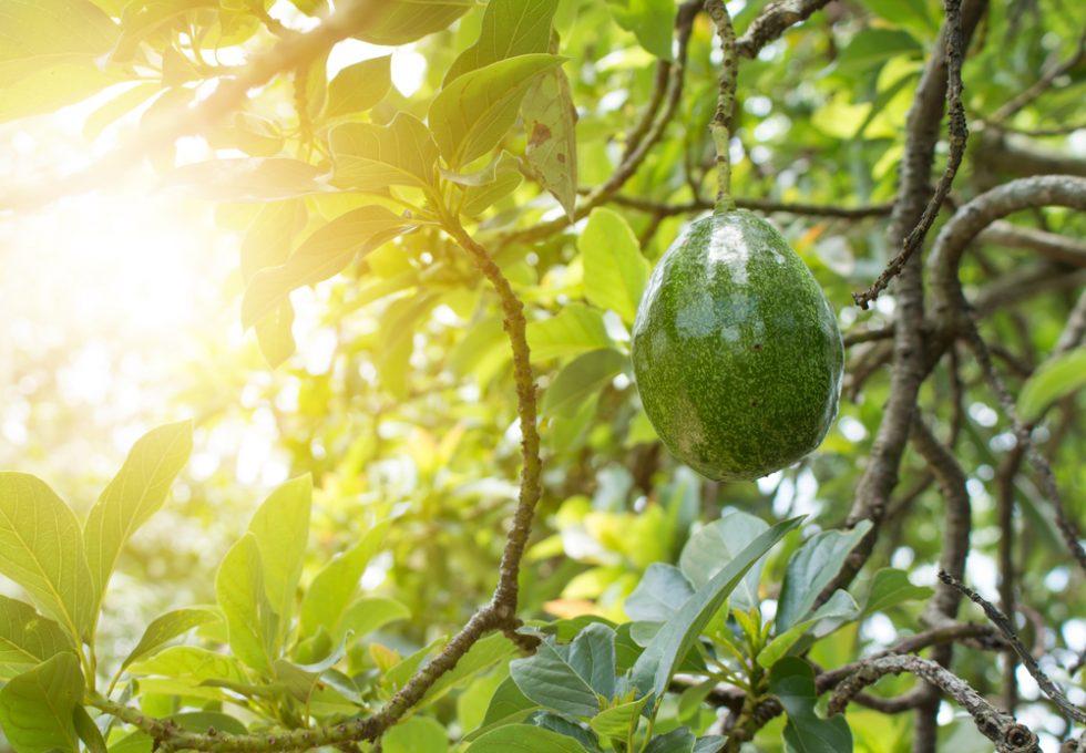 10 curiosità sull'avocado che non avreste mai immaginato - Foto 4