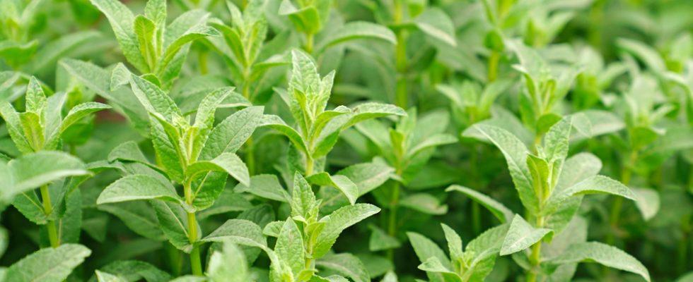 Mentuccia: proprietà e utilizzi di questa pianta aromatica