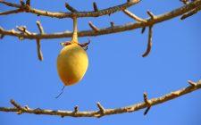 Frutti da scoprire: pane di scimmia