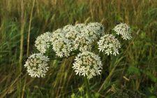 Panace: un'erba da scoprire (nel panettone)