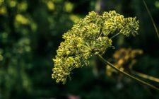 Un portento per la digestione: anice verde