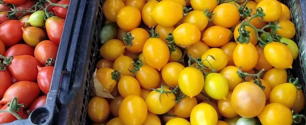 """""""Vieni avanti, Ciliegino!"""": scoprire il pomodorino Verneteca"""