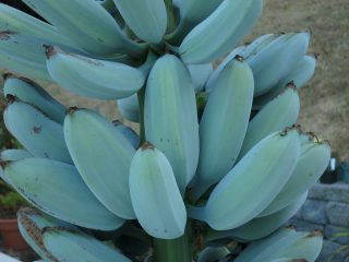 Blue Java: la banana blu che sa di vaniglia
