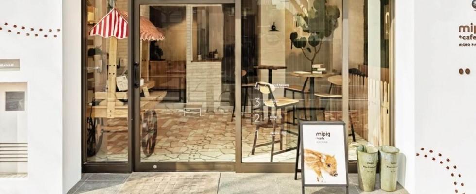 Basta cat cafè: in Giappone arrivano i porcellini del Mipig Cafè