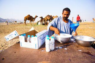 Latte di cammello, l'oro bianco del deserto