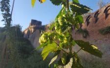 Birra: il luppolo selvatico di Siena