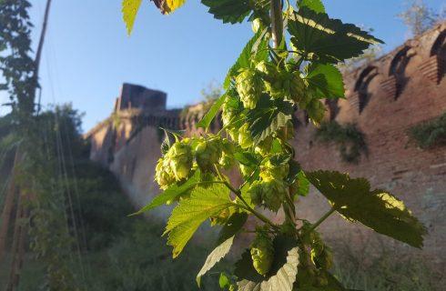 Birra: il luppolo selvatico cresce a Siena