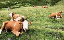 Adotta una mucca, una gallina o un ciliegio