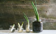 Regrowing: coltivare all'infinito i cipollotti