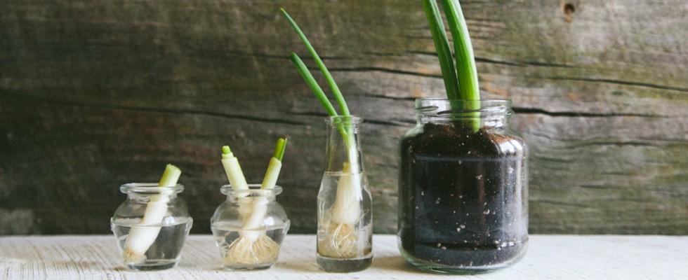 Regrowing: coltivare all'infinito il cipollotto in casa