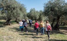 Conoscete l'olio passeggiando tra gli olivi