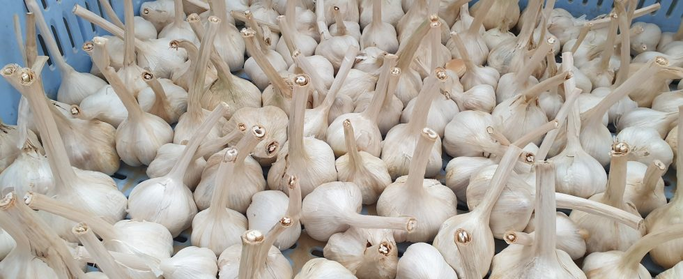 Aglione della Valdichiana, un prodotto da riscoprire che non va confuso con l'aglio