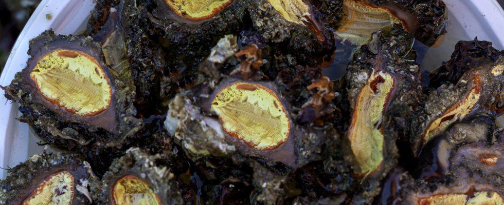 Taratuffi, i grandi sconosciuti tra i frutti di mare